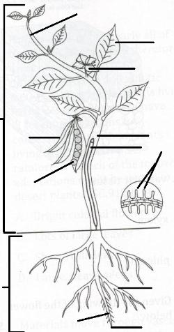 Plant diagram unlabeled A hialeah senior high school